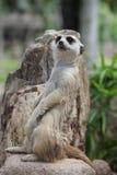 Cuidadoso del surikat que se coloca en la roca Imagen de archivo libre de regalías