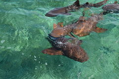 Cuide a Sharks Gathering en la expectativa del cebo en el tiburón Ray Alley de la isla del calafate de Caye en Belice, del Caribe imagenes de archivo