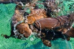 Cuide a Sharks Gathering en la expectativa del cebo en el tiburón Ray Alley de la isla del calafate de Caye en Belice, del Caribe fotografía de archivo