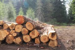 Cuisant l'arbre à la vapeur ouvre une session une pile dans une forêt de pin après une tempête de pluie Images stock