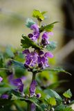 Cuisant-ortie de floraison dans une forêt de printemps Photos libres de droits