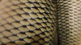 Cuisine de crochet de carpe de poissons faisant cuire la nourriture saine photographie stock