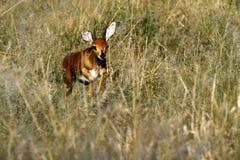 Cuisson à la vapeur du Steenbok image stock
