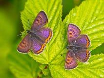 Cuivre violet en Allemagne image libre de droits