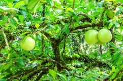 Cujete del Crescentia en árbol de calabaza imagenes de archivo