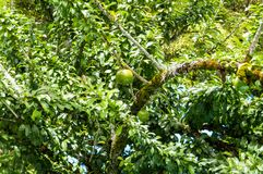 Cujete fresco del Crescentia en árbol de calabaza Foto de archivo