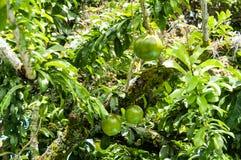 Cujete fresco del Crescentia en árbol de calabaza Imagen de archivo libre de regalías