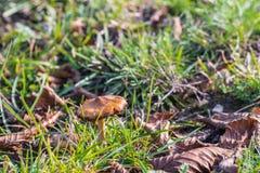 Cukierek nakrętka ono rozrasta się w trawie na łące Obrazy Stock