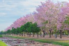 Cukierki menchii kwiatu okwitnięcie w wiosna sezonie Zdjęcie Stock