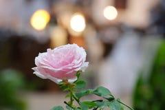 Cukierki menchii róży kwiatu okwitnięcie obraz stock