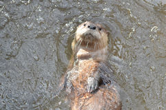 Cukierki Stawiał czoło Rzecznej wydry Unosi się na jego Z powrotem Fotografia Stock