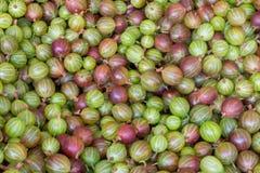 Cukierki zielony i czerwony agresta zbliżenia tło Dojrzałego lato jagod żniwa witaminy Świeży pojęcie Zdjęcia Royalty Free