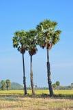 Cukrowa palma Obrazy Stock