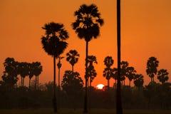 Cukrowa palma i ryż segregujący podczas zmierzchu Zdjęcia Royalty Free