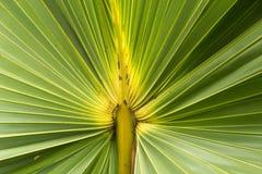Cukrowa palmowego liść tekstura Obrazy Stock