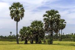 Cukrowe palmy na ryżu polu obraz royalty free