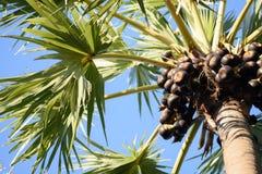 Cukrowej palmy owoc Zdjęcia Royalty Free
