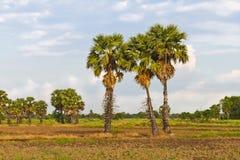 Cukrowi drzewka palmowe Obrazy Royalty Free