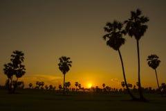 Cukrowi drzewka palmowego i greenery ryżowi pola w zmierzchu obraz stock