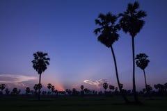 Cukrowi drzewka palmowego i greenery ryżowi pola w zmierzchu zdjęcie royalty free