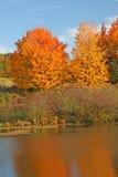 Cukrowi Klonowi drzewa w spadku przy stawem Zdjęcia Stock