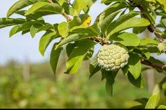 Cukrowy Apple lub custard jabłko fotografia royalty free