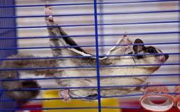 Cukrowy astraliysky possum obsiadanie w klatce mądrej Zdjęcia Stock