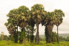Cukrowy Drzewko Palmowe Zdjęcie Stock