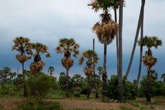 Cukrowy drzewko palmowe przy zmierzchem Obraz Stock