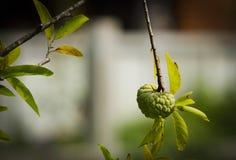Cukrowy jabłko Zdjęcie Royalty Free