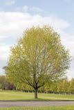 Cukrowy klonowy drzewo Zdjęcia Royalty Free