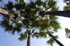 cukrowy palmy drzewo Obrazy Stock