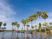 cukrowy palmy drzewo Obraz Royalty Free