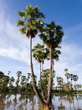 cukrowy palmy drzewo Zdjęcie Stock
