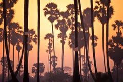 Cukrowy Plama drzewny gospodarstwo rolne Obrazy Royalty Free