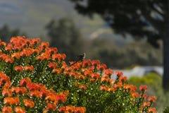Cukrowy ptak na pomarańczowym protea Obrazy Royalty Free