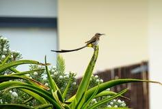 Cukrowy ptak, Promerops cafer z długim ogonem, patrzeje prawy Fotografia Royalty Free