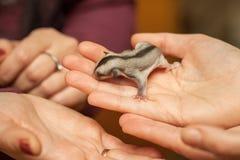Cukrowy szybowcowy lisiątko, nadrzewny szybowniczy possum czołganie w kobiety ręce obrazy royalty free