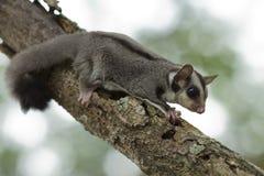 Cukrowy szybowiec, Latająca wiewiórka Fotografia Stock