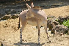 Cul sauvage africain ou âne sauvage africain photo libre de droits