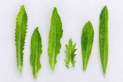 Culantro, Long coriander, Sawtooth coriander the herbs for seaso Royalty Free Stock Photography