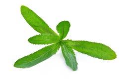 Culantro lub Dłudzy Kolendrowi liście na białym tle Obraz Stock