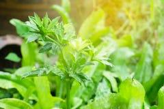 Culantro ou salsa verde fresca, coentro do sawtooth, eryngium FO Foto de Stock