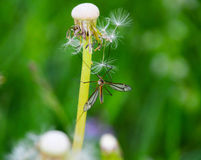 Culex Mosquito Stock Photo