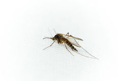 Culex pipiens, northern house Mosquito Royalty Free Stock Image