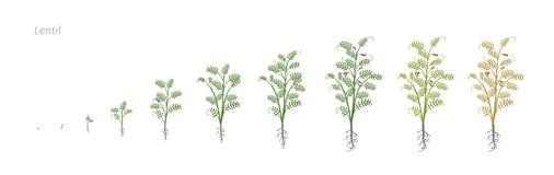 Culinaris объектива сои чечевицы Рост ставит иллюстрацию вектора Стоковое Фото