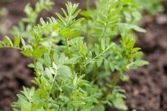 culinaris obiektywu soczewicy roślina Zdjęcie Stock