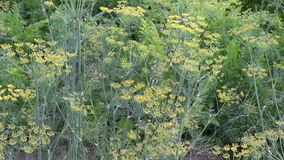 Culinary dill herbs in garden and wind stock video
