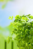 Culinary herb, parsley, copy space Royalty Free Stock Photo
