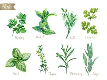 Culinary herbs collection watercolor illustration with clipping paths Stock Photo